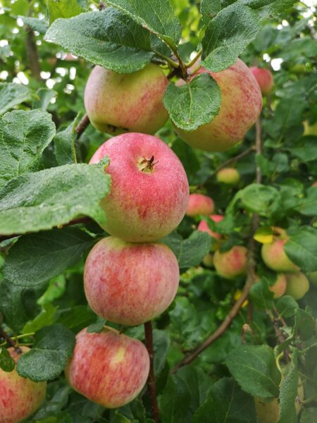 Āboli , audzēti bez pesticīdiem